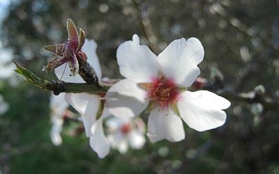 Almond tree blossom, January 21, 2016. (Melanie Lidman/Times of Israel)