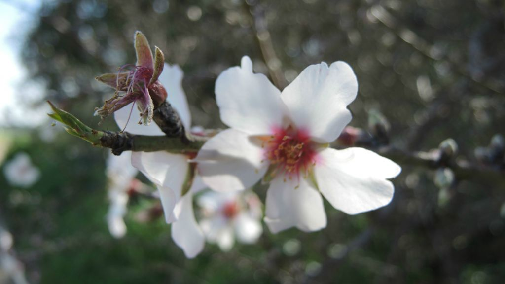 Kalaniyot aren't the only flowers in Darom Adom. The almond trees are also beginning to blossom in late January. (Melanie Lidman/Times of Israel)