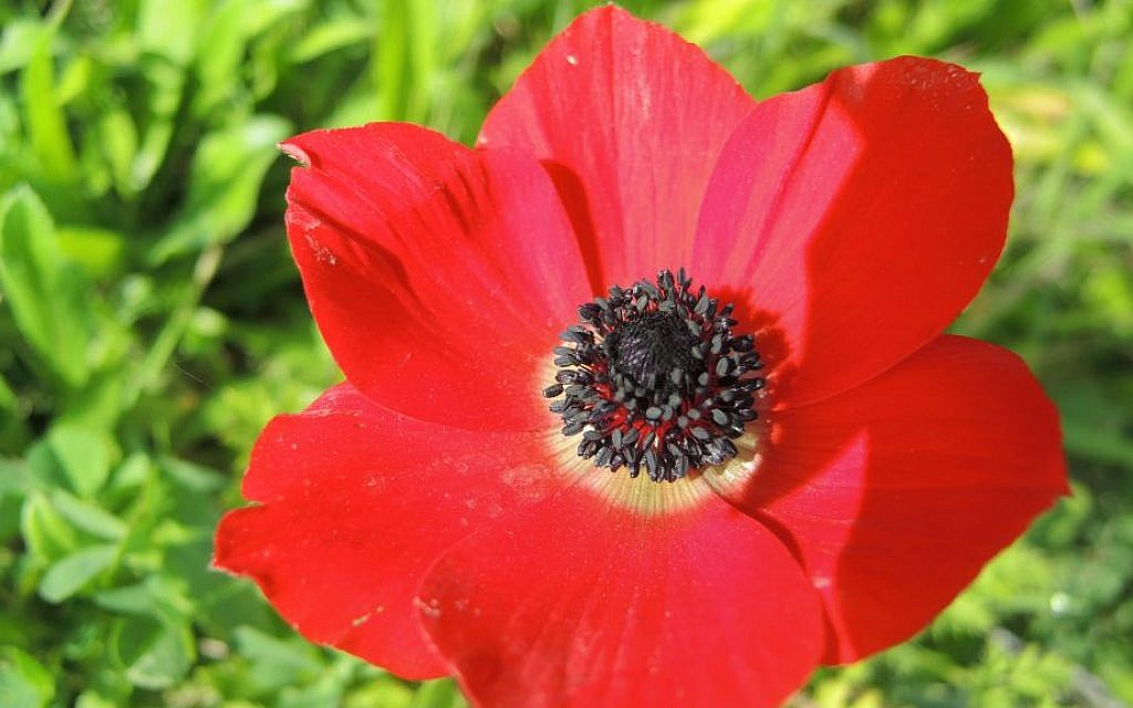 'Kalaniyot,' or anemones, blossom across southern Israel in late January and February. (Melanie Lidman/Times of Israel)
