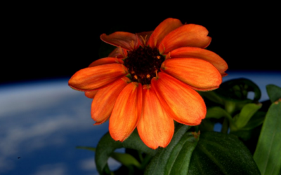 NASA announced the first flower grown in space on January 16, 2016. (courtesy NASA)