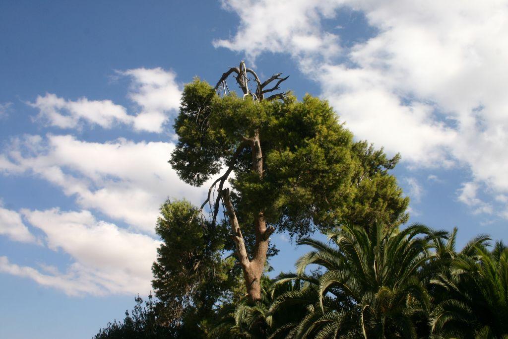 Jerusalem pine at Abu Ghosh (Shmuel Bar-Am)