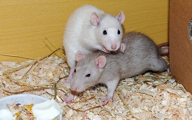 Illustrative image of rats (Pixabay)
