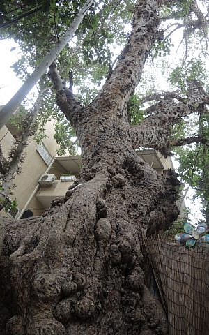 This sycamore is located behind the apartments on Oliphant Street in central Tel Aviv. (Melanie Lidman/Times of Israel)