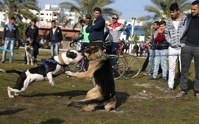 Palestinians watch dogs fight during the first dog show in Gaza City, on February 5, 2016, organised by dog owners in the Gaza Strip. (Mohammed Abed/AFP)