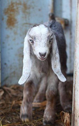 Goat. What's not to love? (Courtesy Miriam Shechter)