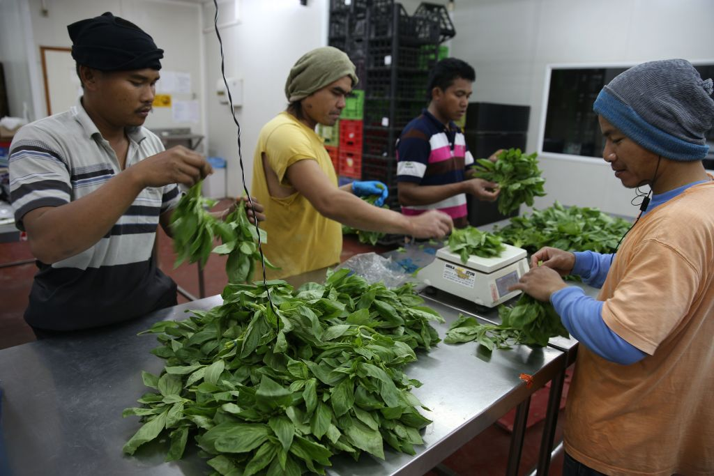 Thai field workers gather basil leafs in the packaging room of the herb and spice fields in the Jewish village of Na'ama, near Jericho, in the Jordan Valley, on March 25, 2014. (Photo by Nati Shohat/Flash 90.)