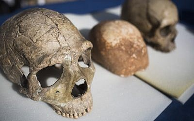 A Neanderthal skull (L) and a modern human skull (R ), file photo  (Hadas Parush/Flash90)