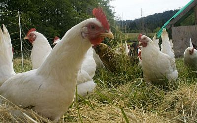 Illustrative: Chickens on a free-range farm. (Wikipedia/woodley wonderworks/CC BY 2.0)