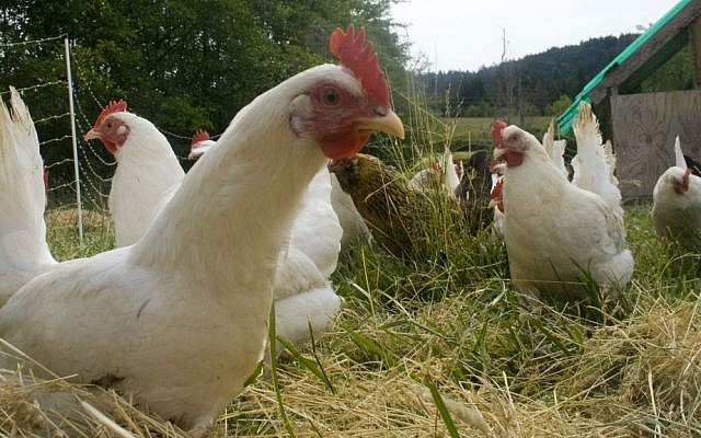 Illustrative: Chickens on a free-range farm. (Wikipedia/woodley wonderworks/CC BY 2.0)