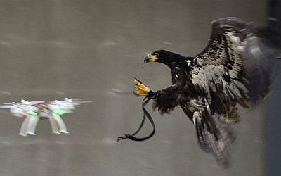 In this image released by the Dutch Police Tuesday Feb. 2, 2016, a trained eagle is about to put its claws into a flying drone. Police are working with a The Hague-based company that trains eagles and other birds to swoop down on small drones and grasp them in their talons in restricted areas or where they are banned, such as at large outdoor events. (Dutch Police via AP)