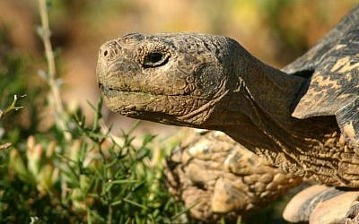 And adult male leopard tortoise. (Wikipedia/Charlesjsharp/CC BY 3.0)