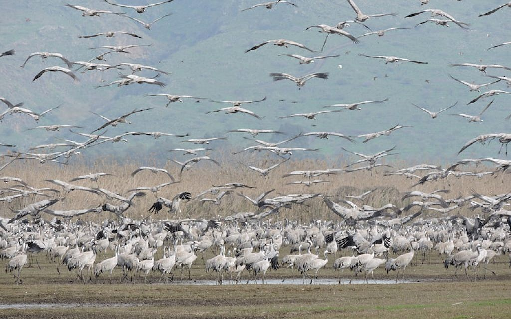 Thousands of cranes taking flight in Israel's Hula Valley, February 2016. (Ben Sales/JTA)