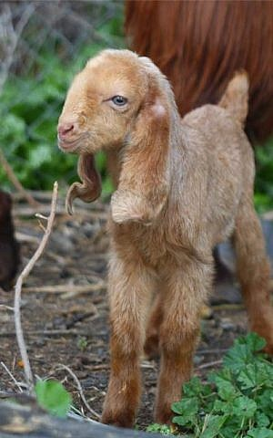 One of the baby goats born to the Shechter's herd near Beit Shean (Courtesy Miriam Shechter)