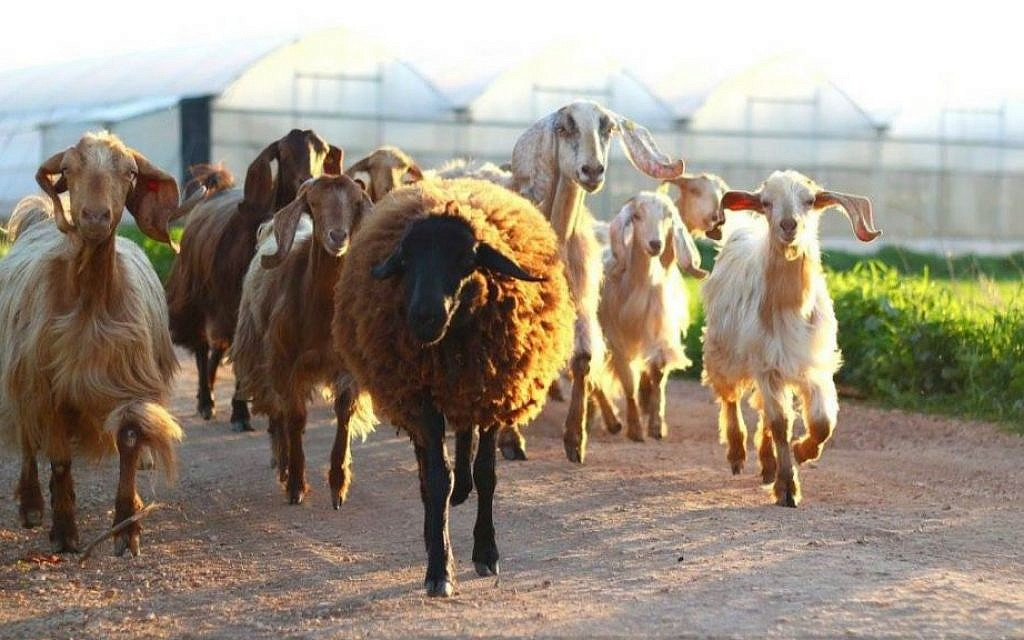 Goats for sale, via Facebook | The Times of Israel