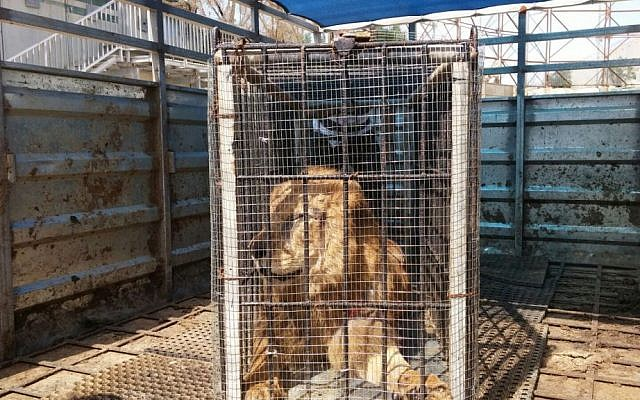 An ailing lion seen as it was transferred from the Gaza Strip to a zoo in the West Bank town of Tulkarem, March 10, 2016. (Defense Ministry)