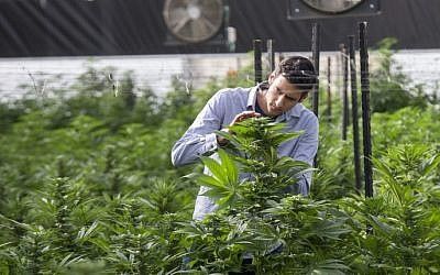 An Israeli agricultural engineer inspects marijuana plants at the BOL (Breath Of Life) Pharma greenhouse in the country's second-largest medical cannabis plantation, near Kfar Pines in northern Israel, on March 9, 2016. (Jack Guez/AFP)