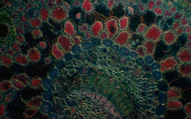Roman Vishniac took scientific photographs using a microscope, such as this cross-section of a pine needle (© Mara Vishniac Kohn, courtesy International Center of Photography)