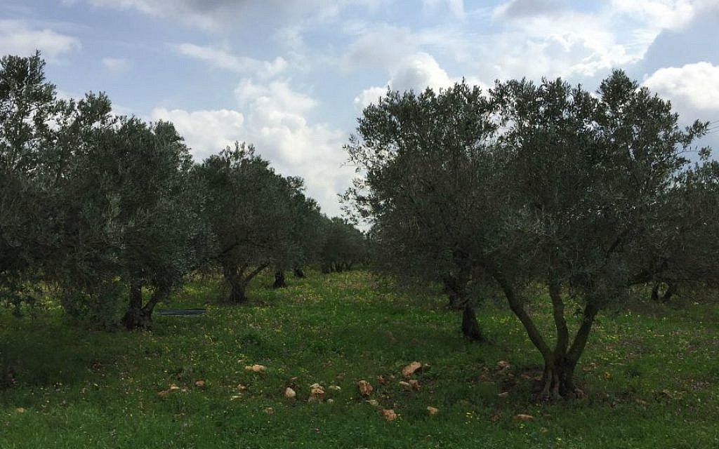 A verdant field of olive trees, where bulbs of wild garlic mix with mallow leaves and other edible greens (Jessica Steinberg/Times of Israel)