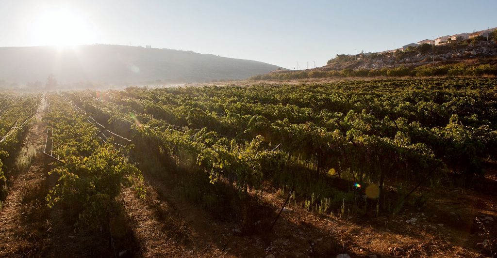 The grapes at Tanya, an idiosyncratic winery located in the West Bank (Courtesy Tanya Winery)