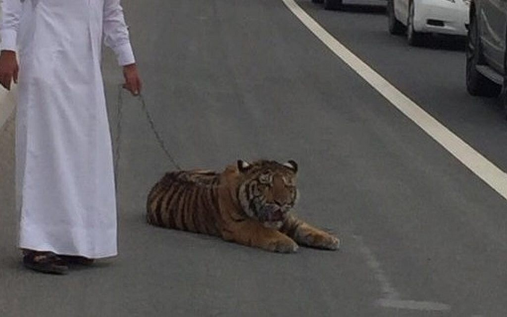 Escaped Tiger Entertains Drivers On Doha Road The Times Of Israel