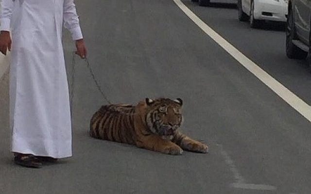 An escaped pet tiger caught by his owner in Doha, March 8, 2016 (Twitter)