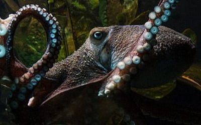 An undated handout photo of Inky the octopus at National Aquarium of New Zealand in Napier. (National Aquarium of New Zealand)