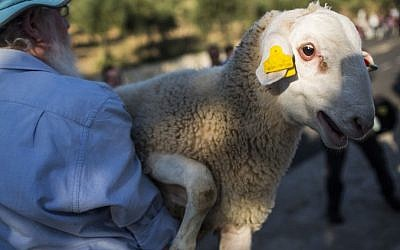 A sheep is carried by a member of the Temple Institute, which works to preserve ancient Jewish traditions, for a 'practice' ceremony of the Passover sacrifice at Beit Orot in East Jerusalem, on April 18, 2016. (Hadas Parush/Flash90)