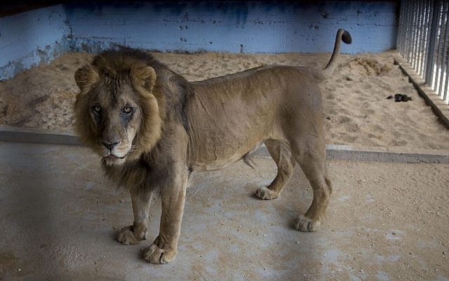 A lion, previously moved from Gaza, stands in a zoo in the Atil village near the West Bank city of Tulkarem, April 11, 2016. (AP Photo/Majdi Mohammed)