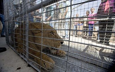 Palestinians look at a lioness in the Atil village near the West Bank city of Tulkarem, after she was evacuated from a makeshift zoo in Rafah, southern Gaza Strip, April 11, 2016. (AP Photo/Majdi Mohammed)