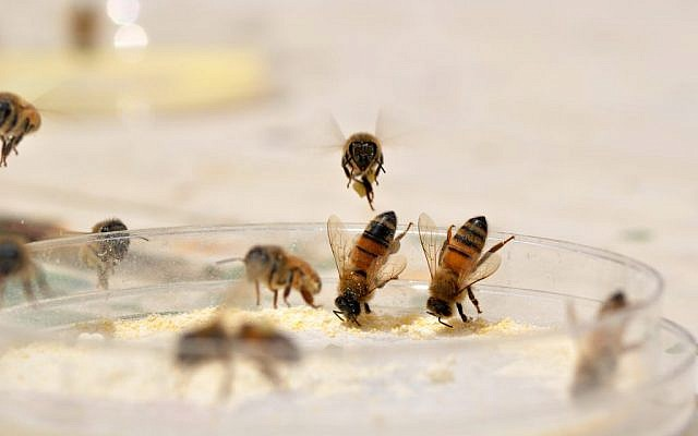 Honey bee workers collecting artificial pollen diets from a feeding dish. (Credit: Harmen, P Hendriksma)