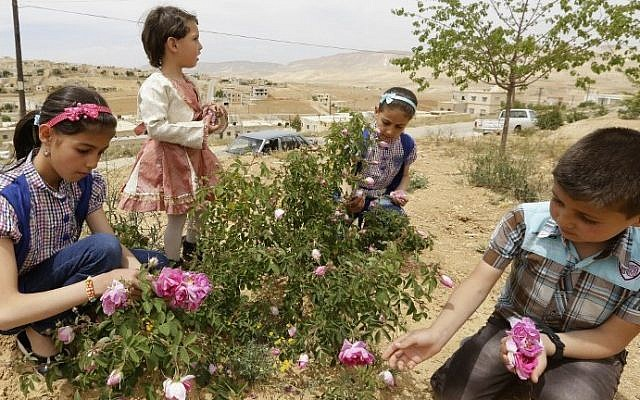 Syrian children pick damask roses (Rosa Damascena), in the village of Marah, north of the capital Damascus, on May 11, 2016. (AFP PHOTO / LOUAI BESHARA)
