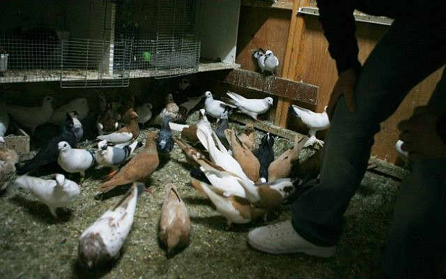 IS said to use homing pigeons to communicate | The Times of