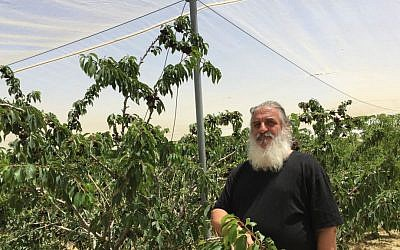 Roni Dotan and his cherries, carefully cultivated over the last 14 years at Kibbutz Ramat Rachel (Jessica Steinberg/Times of Israel)