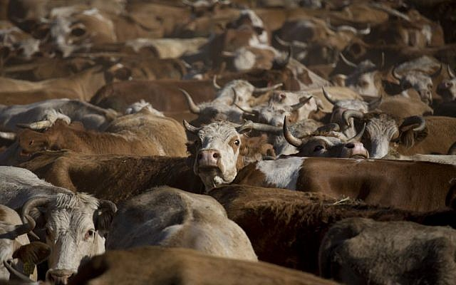 In this Thursday, April 21, 2016 photo, cattle graze in the Golan Heights near the border with Syria. (AP Photo/Ariel Schalit)