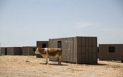 In this Monday, April 11, 2016 photo, a cow grazes in a military training ground in the Israeli controlled Golan Heights near the border with Syria . (AP Photo/Ariel Schalit)