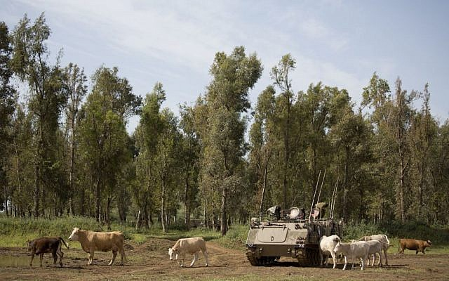 Cattle graze by an Israeli military APC on the Golan Heights April 21, 2016, close to the border with Syria. (AP Photo/Ariel Schalit)