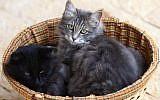 An illustrative photo of cats (Nati Shohat/Flash90)