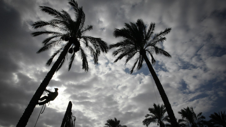 Palestinians collect dates from palm trees during the date picking season, in Khan Yunis, southern Gaza Strip on September 30, 2015. (Abed Rahim Khatib/ Flash90)