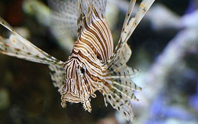The highly invasive lionfish, also known as the Devil Firefish, in an aquarium in Long Beach, CA (DMSamson/Flickr/CC BY-2.0)