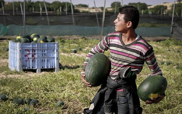 A Palestinian farmer collecting watermelons in the southern Gaza Strip on May 9, 2015. (Abed Rahim Khatib/Flash90)