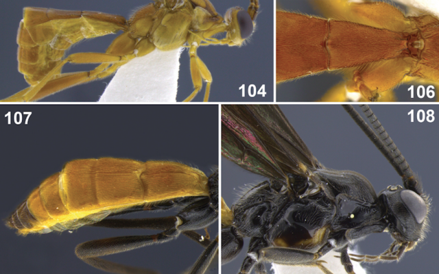 Aleiodes stewarti (Screenshot from ZooKeys via JTA)
