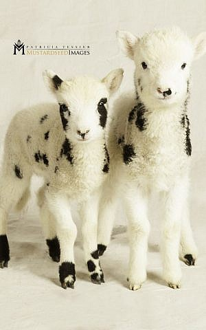 """Peace and Sarah, two newly born sheep, show the """"spots and speckles"""" that connect this breed to Genesis. (courtesy Mustard Seed Imaging)"""