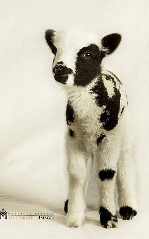 A baby sheep named Tikvah (hope) hopes to come to Israel this summer. (courtesy Mustard Seed Imaging)