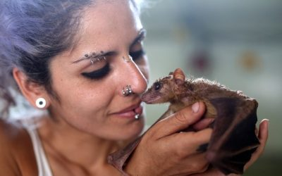 Israeli animal activist Nora Lifschitz holds a wounded fruit bat (Rousettus aegyptiacus) at her new bat shelter in Israel's central Elah Valley, south of Beit Shemesh, on June 22, 2016. (AFP/Menahem Kahana)