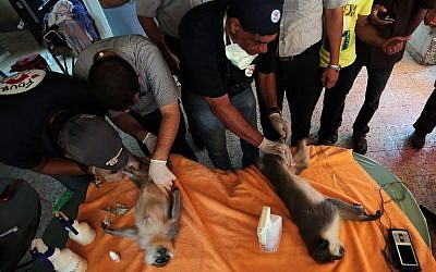 "Members of the international animal welfare charity ""Four Paws"" check sedated monkeys  at a zoo in Khan Yunis, in the southern Gaza Strip, on August 23, 2016 as they prepare to evacuate the animals out of the Palestinian enclave.(AFP PHOTO / SAID KHATIB)"