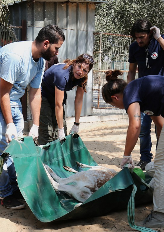 """Members of the international animal welfare charity """"Four Paws"""" carry a sedated deer at a zoo in Khan Yunis, in the southern Gaza Strip, on August 23, 2016 as they prepare to evacuate the animals out of the Palestinian enclave.(AFP PHOTO / SAID KHATIB)"""