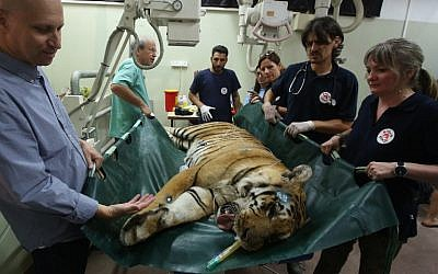 "Gaza's last tiger, named Laziz, which was evacuated from a zoo in Khan Yunis in the southern Gaza Strip is carried by members of the international non-government ""Four Paws"" organization and vets  from the Israeli Hebrew University veterinary teaching hospital in Beit Dagan, near Tel Aviv, on August 24, 2016, prior to being transported to South Africa. (AFP/ MENAHEM KAHANA)"