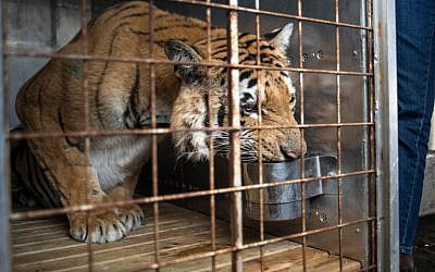 Laziz, Gaza's last tiger from Khan Yunis zoo, known as the 'world's worst,' waits in a cage at the OR Tambo international airport in Johannesburg, on August 25, 2016, before being transported to the Big Cat Sanctuary Lionsrock in South Africa. (AFP PHOTO/MUJAHID SAFODIEN)
