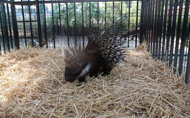 A porcupine sits inside an enclosure at the New Hope Center, an animal refuge near Amman, on August 25, 2016, after being evacuated from a zoo dubbed the 'world's worst' in the Gaza Strip. (AFP PHOTO/Khalil MAZRAAWI)