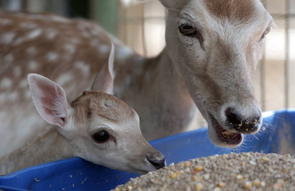Sadly, the baby deer died shortly before the rescue. The mother is injured, but Four Paws workers expect she will recover fully. (Four Paws)